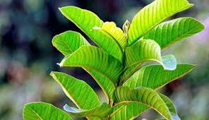 guava leaves oil for hair
